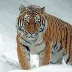 l'inquietudine della tigre